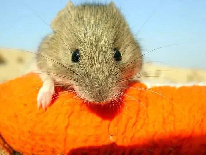 四问鼠疫:哪些人是易感人群?怎样预防最有效?